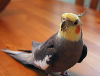 【オカメインコの鳥かご】hoei465オカメステンレスがおすすめ!亜鉛中毒死を防ぐケージを選ぼう