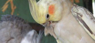 【オカメインコの毛引き症】毛引きの原因 早期発見の観察と対処法