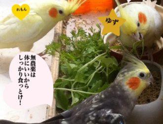【オカメインコと野菜】青菜は何を与える?豆苗はあげない個人的見解