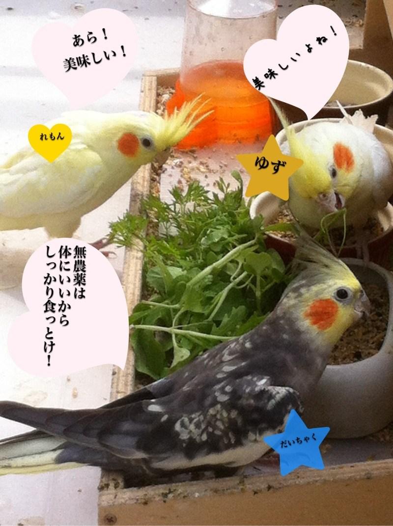 オカメインコ 野菜 豆苗