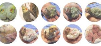 【オカメインコの雛】餌 成長 育て方と雛のお迎えはいくらかかる?