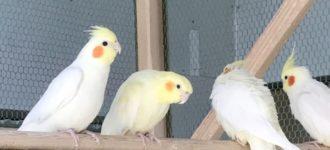 【オカメインコの換羽期】栄養 体調 時期 飼い主にできるサポートは?