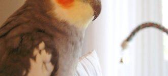 【オカメインコの脂粉と対策】フケみたいなオカメ粉とPBFDの関係!実は脂粉は健康のバロメータだった!