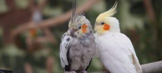 【オカメインコの病気のサイン】病気を隠す鳥の演技はこうして見抜け!
