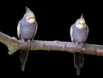 【オカメインコの老鳥】老衰時のお世話で配慮すべき4つのポイント
