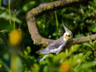 【鳥のアクリルケージ】オカメインコの保温 脂粉対策 防音 看護病棟としての正しい使い方