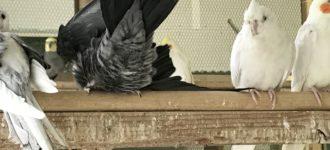 【オカメインコのトイレ】トイレトレーニングをしつける!?トイレで用を足せる鳥もいるけど…