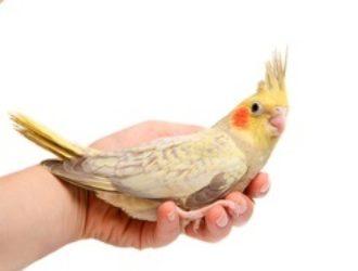 【オカメインコの乳酸菌】鳥の乳酸菌で腸活!腸内環境改善におすすめのサプリメント